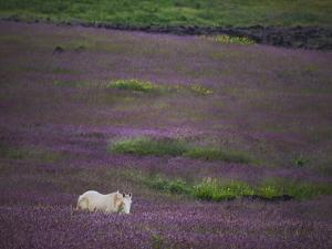 A Small Breed of Wild Horse, Brought over from Tahiti, Stands in a Flowering Field by Randy Olson
