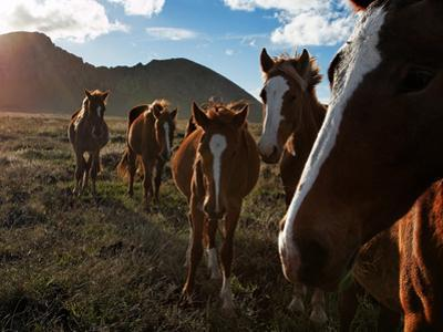 A Small Breed of Wild Horses, Brought over from Tahiti, on Easter Island by Randy Olson
