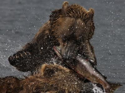 Brown Bear Catches a Salmon Fish in Kuril Lake by Randy Olson