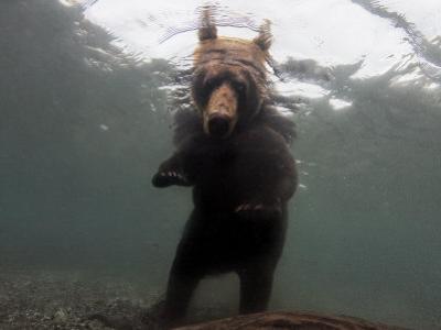 Brown Bear Fishing for Salmon in Kuril Lake by Randy Olson
