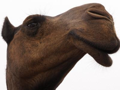 Camel with Oblong Nostrils and Drooping Lips by Randy Olson