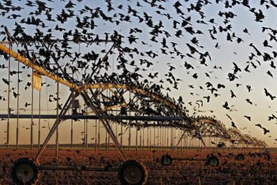 Grackles Gather on a Center-Pivot Sprinkler to Feed on a Newly Harvested Cotton Field by Randy Olson