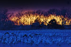 Sandhill Cranes Arrive to Roost in the Shallows of the Platte River by Randy Olson