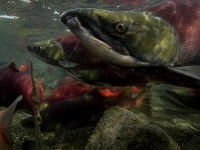 Spawning Salmon Dominate Traffic in the Ozernaya River by Randy Olson