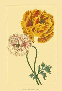Ranunculus II