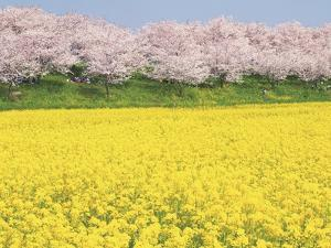 Rape blossom field lined with blossoming cherry trees, Satte, Saitama Prefecture, Japan