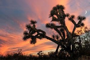 Joshua Tree at Sunset by raphoto