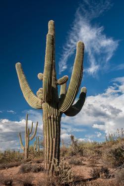 Saguaro Cactus Await Monsoon by raphoto
