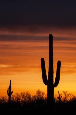 Saguaro Silhouette by raphoto
