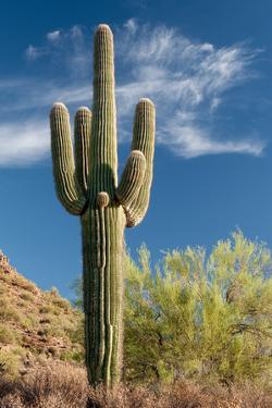 Stately Saguaro by raphoto