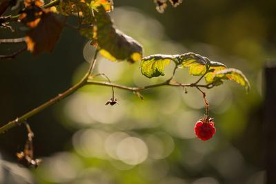 https://imgc.allpostersimages.com/img/posters/raspberry-branch-on-natural-green-background-with-bokeh_u-L-Q1EXXPT0.jpg?artPerspective=n