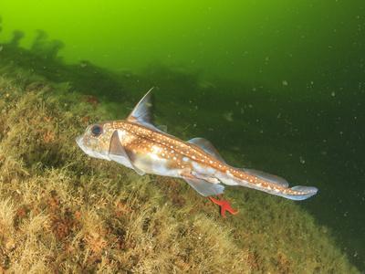 https://imgc.allpostersimages.com/img/posters/ratfish-hydrolagus-colliei-foggy-bay-alaska-inside-passage_u-L-Q1D0BAA0.jpg?p=0