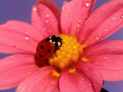 Ladybird by Ratier