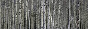 A Dense Aspen Forest by Raul Touzon