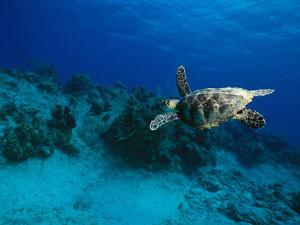 A Hawksbill Turtle Swims Along a Reef by Raul Touzon