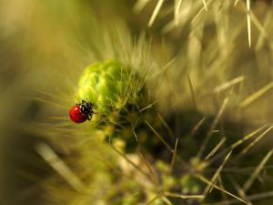 A Ladybug on the Spikes of a Cholla Cactus by Raul Touzon