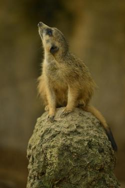 A Meerkat Perches on a Rock and Looks Up at the Sky by Raul Touzon