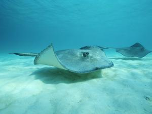 A Pair of Southern Stingrays Swim over Ocean Floor by Raul Touzon