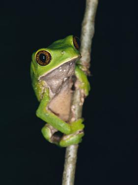 A Tree Frog with Big Eyes Clings to a Twig by Raul Touzon