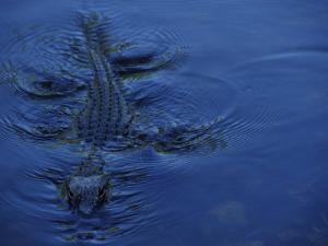 Alligator Swimming by Raul Touzon