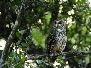 Barred Owl Sitting on a Tree Branch by Raul Touzon