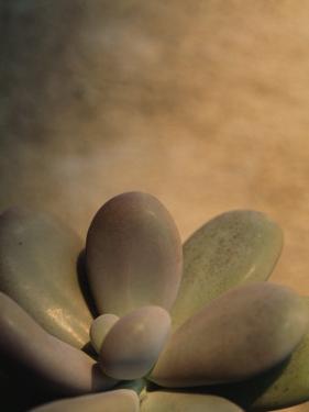 Close View of an Echeveria Succulent Plant by Raul Touzon