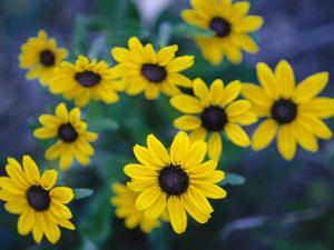 Close View of Black-Eyed Susan Flowers by Raul Touzon