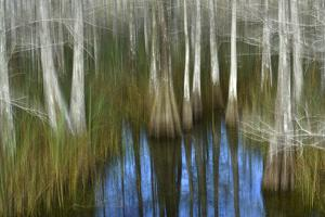 Cypress Trees in a Swamp by Raul Touzon