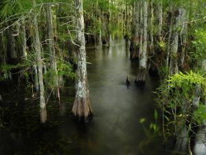 Cypress Trees in the Everglades by Raul Touzon