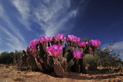 Flowering prickly pear cactus in spring. by Raul Touzon