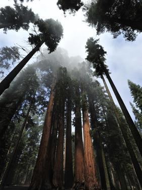 Giant Sequoia Trees and Fog by Raul Touzon