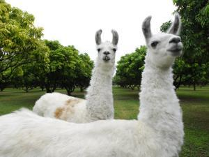 Group of Llamas on a Wooded Field by Raul Touzon