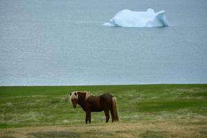 Icelandic Horse, Equus Ferus Caballus, in Meadow by Raul Touzon