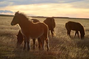 Icelandic Horses Grazing in Pasture by Raul Touzon