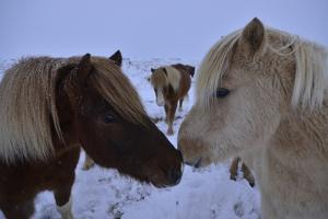 Icelandic Horses in Snow by Raul Touzon