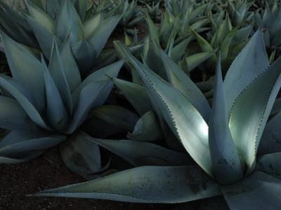 Maguey or Agave Plants by Raul Touzon