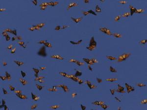 Monarch Butterflies in Flight by Raul Touzon