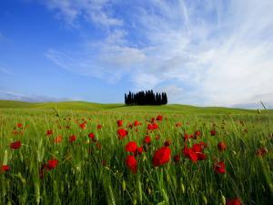 Poppies in a Wheatfield and Cypresses by Raul Touzon