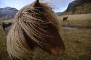 Portrait of An Icelandic Horse in a Pasture by Raul Touzon