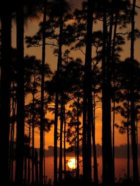 Slash Pine Forest Silhouetted at Sunset by Raul Touzon