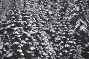 Snow Covered Evergreen Trees by Raul Touzon