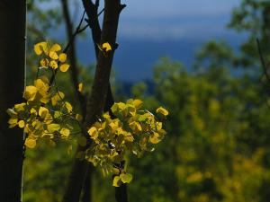 Sunlight Shines on Golden Aspen Tree Leaves by Raul Touzon