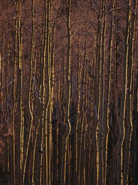 Winter View of a Stand of Aspen Trees in the Late Afternoon Light by Raul Touzon