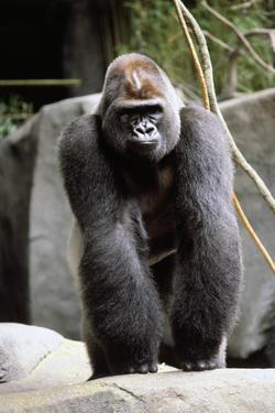 Gorilla Prancing on Rock Display by Ray Foli