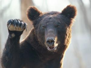 A Bear Waves at the Camera by Raymond Gehman