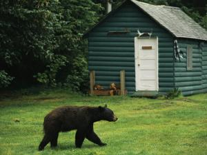 A Black Bear Looks for a Meal on the Grounds of the Taku Glacier Lodge by Raymond Gehman