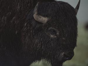 A Close View of an American Bison Wet with Rain by Raymond Gehman