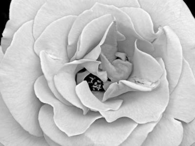 A Delicate and Splendid Rose Opens Up Her Petals by Raymond Gehman