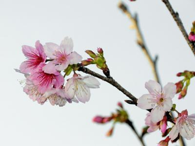 A Japanese Cherry Tree Bursts Forth in Blossoms by Raymond Gehman
