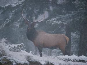 A Magnificent Bull Elk Stands Amidst the Snow by Raymond Gehman